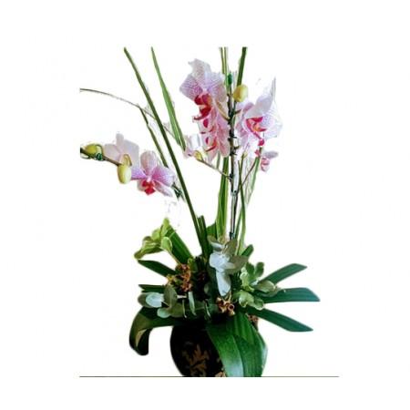 Orquídea Phalaenopsis  em cachepot de cerâmica