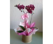 Orquídea Lilás na caixa